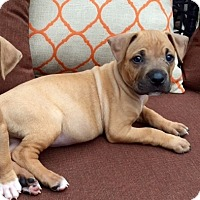Adopt A Pet :: Shana - Miami, FL