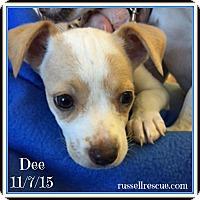 Adopt A Pet :: Dee In Dallas/Ft Worth, Texas - Dallas/Ft. Worth, TX