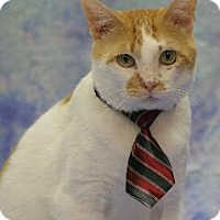 Domestic Mediumhair Cat for adoption in Richardson, Texas - Oscar The Cat