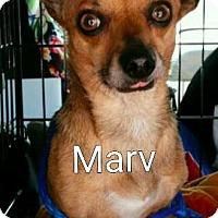 Adopt A Pet :: Marv - Encinitas (San Diego), CA