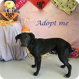 Labrador Retriever Mix Dog for adoption in Concord, North Carolina - Pilgrim