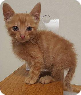 American Shorthair Kitten for adoption in Minot, North Dakota - Akamu