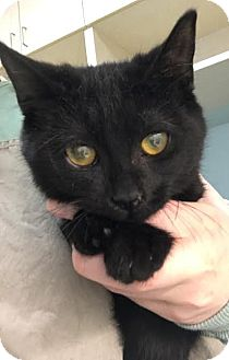 Domestic Shorthair Cat for adoption in Westminster, California - Abra