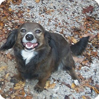 Dachshund/Spaniel (Unknown Type) Mix Dog for adoption in Midvale, Utah - baily