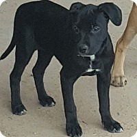 Adopt A Pet :: Rachel - Las Cruces, NM