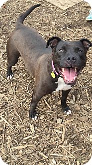 American Pit Bull Terrier Mix Dog for adoption in South Park, Pennsylvania - Claudia