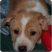 Adopt A Pet :: puppy 5 - Toronto/Etobicoke/GTA, ON