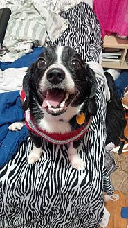 Beagle/Border Collie Mix Dog for adoption in Guelph, Ontario - Kingsley *on hold