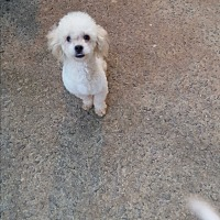 Poodle (Toy or Tea Cup) Puppy for adoption in Alpharetta, Georgia - Beamer