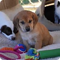 Adopt A Pet :: Chubby - Groton, MA