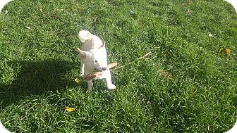 Shiba Inu Puppy for adoption in Loveland, Colorado - Felix