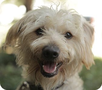 Terrier (Unknown Type, Small)/Poodle (Miniature) Mix Dog for adoption in Encino, California - Thor