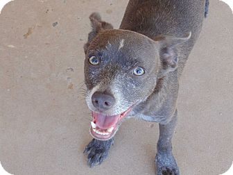 Chihuahua Mix Dog for adoption in Las Cruces, New Mexico - Jaguar