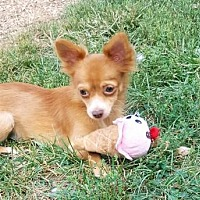 Adopt A Pet :: Sandy the long hair Chihuahua - Elizabethtown, PA