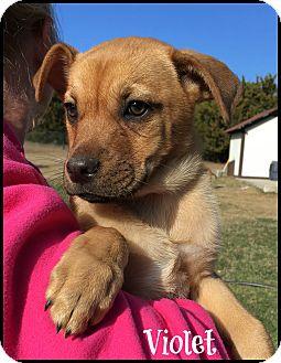 Shepherd (Unknown Type)/Mixed Breed (Medium) Mix Puppy for adoption in Austin, Texas - Violet