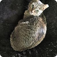 Adopt A Pet :: Molly - Brick, NJ