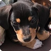 Adopt A Pet :: Becky Bechamel - Houston, TX