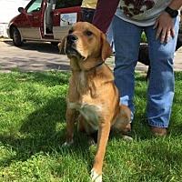 Hound (Unknown Type) Mix Dog for adoption in Allentown, Pennsylvania - Buster Lane