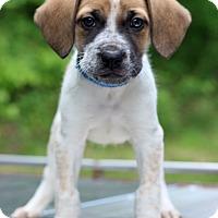 Adopt A Pet :: Veritigo - Waldorf, MD