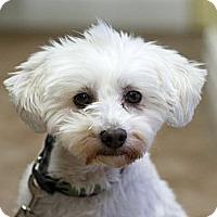 Adopt A Pet :: Cookie - Rigaud, QC