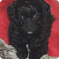 Adopt A Pet :: Sesame - La Habra Heights, CA