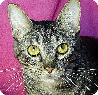 Domestic Shorthair Cat for adoption in Renfrew, Pennsylvania - Caramel