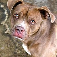 Pit Bull Terrier Dog for adoption in Memphis, Tennessee - Rhodes