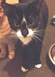 Domestic Shorthair Cat for adoption in Horn Lake, Mississippi - BamBam