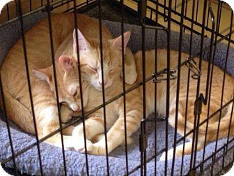 Domestic Mediumhair Kitten for adoption in Lumberton, North Carolina - Tagalong & RahRah Raisin