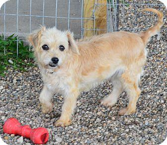 Havanese Dog for adoption in Prole, Iowa - Myrna