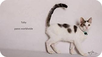 Turkish Van Kitten for adoption in Corona, California - TOBY
