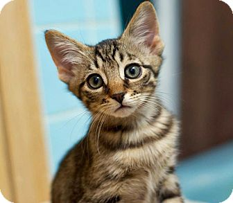Domestic Shorthair Kitten for adoption in Troy, Michigan - Leonardo
