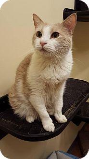 Domestic Mediumhair Cat for adoption in Overland Park, Kansas - Luna