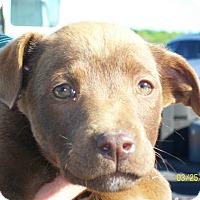 Adopt A Pet :: Brownie - Mexia, TX