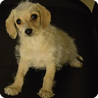 Yorkie, Yorkshire Terrier/Poodle (Miniature) Mix Puppy for adoption in Palo Alto, California - Sharks: Shelly