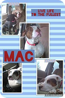 American Pit Bull Terrier Dog for adoption in Unionville, Virginia - Mac