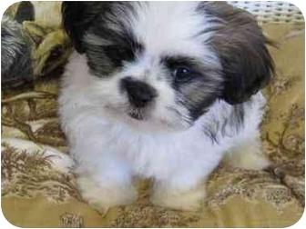 Shih Tzu Puppy for adoption in Conroe, Texas - Teddy Bear
