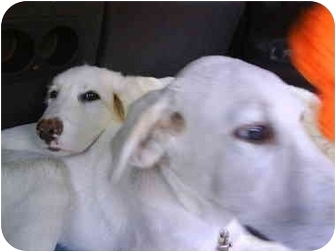 Labrador Retriever/Great Pyrenees Mix Puppy for adoption in Wayne, New Jersey - FLEURY