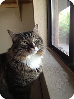 Domestic Longhair Cat for adoption in Fountain Hills, Arizona - SNICKERS
