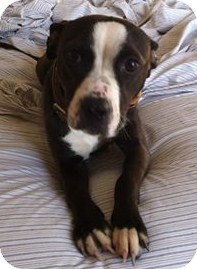 Boston Terrier/American Staffordshire Terrier Mix Dog for adoption in North Olmsted, Ohio - Virginia