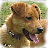 Adopt A Pet :: Molly - Courtesy Posting - New Canaan, CT