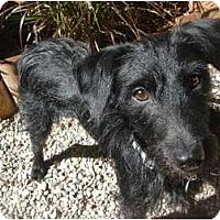 Adopt A Pet :: Scruffy - Lake Forest, CA