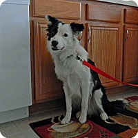 Adopt A Pet :: Domino - Midwest (WI, IL, MN), WI