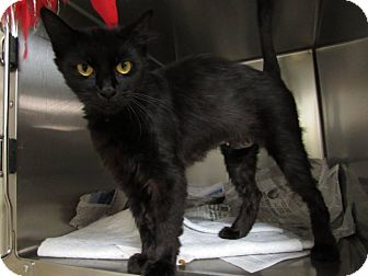 Domestic Mediumhair Cat for adoption in Windsor, Virginia - Maggie