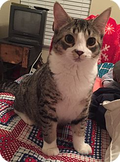 Domestic Shorthair Kitten for adoption in St. Louis, Missouri - Taylor