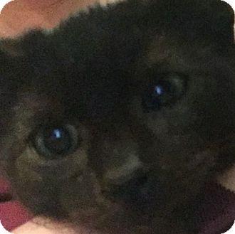 American Shorthair Kitten for adoption in New York, New York - Lee