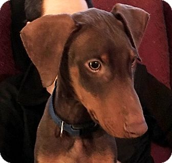 Doberman Pinscher Mix Puppy for adoption in Bowie, Maryland - Adopted! Joey
