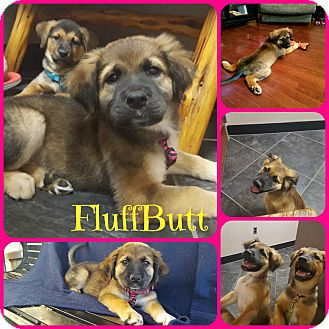 Hound (Unknown Type)/Shepherd (Unknown Type) Mix Puppy for adoption in Ft Worth, Texas - FluffButt