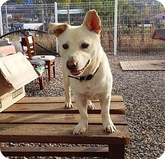Jindo/Corgi Mix Dog for adoption in Fairfax, Virginia - Huey