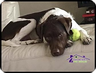 Springer Spaniel Mix Dog for adoption in Richardson, Texas - Jake